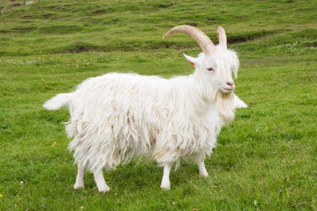Casanova the Icelandic Goat