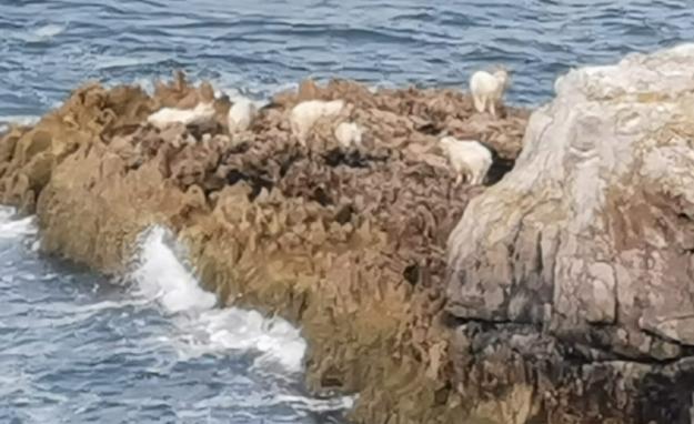 Llandudno Goats